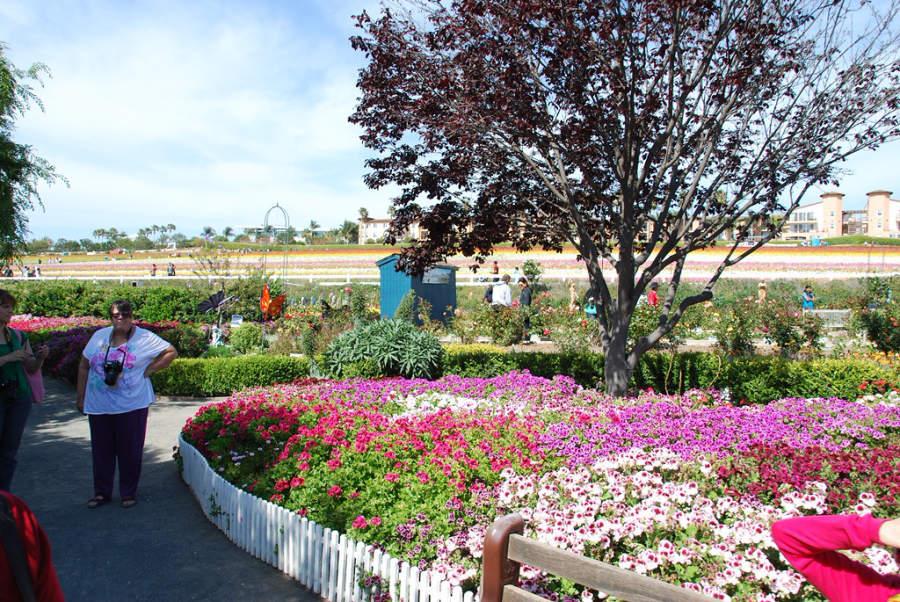 Aprecia los campos de flores de Carlsbad