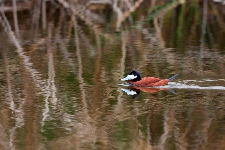 Fauna en el lago Buena Vista