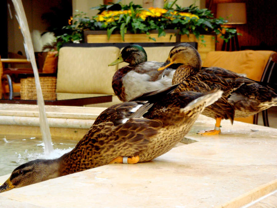 Los Patos del Hotel Peabody desfilan diariamente por una alfombra roja