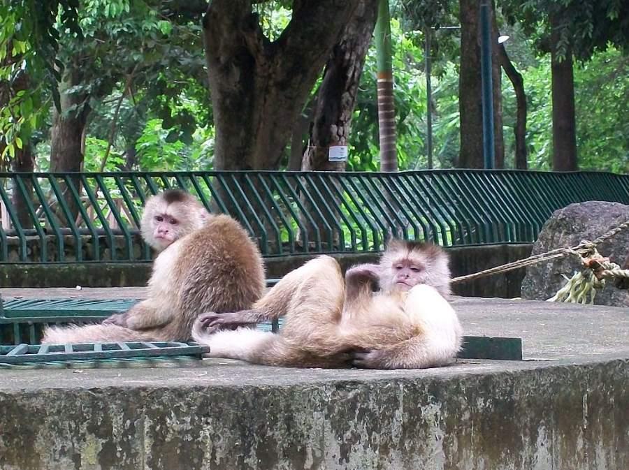 Monos capuchinos en el Parque Zoológico Las Delicias
