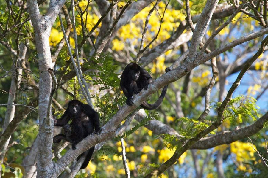 Monos aulladores en la región de Tumbes