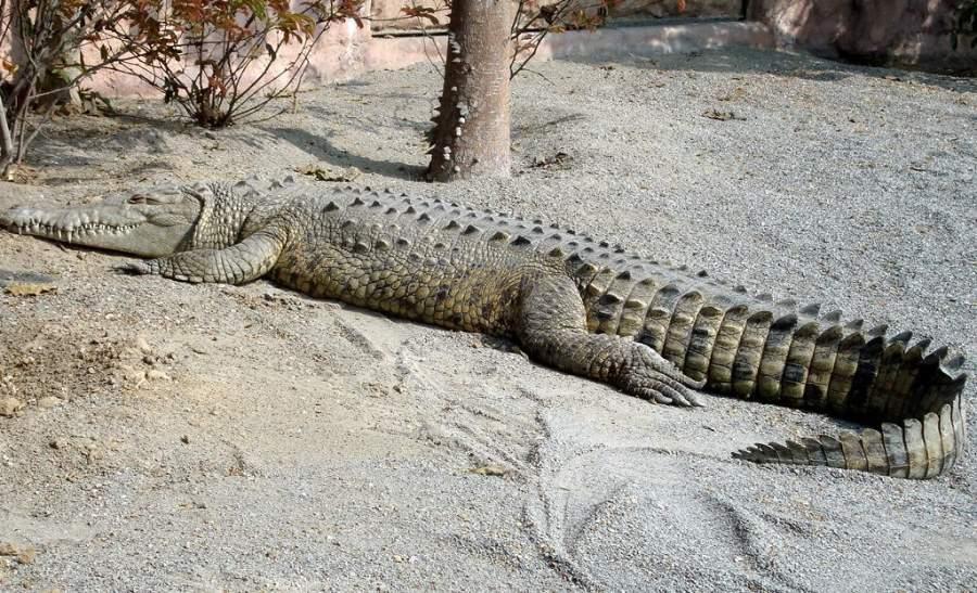 Un cocodrilo en la región de Tumbes