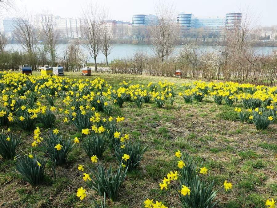 Flores de narciso en un parque de Colombes