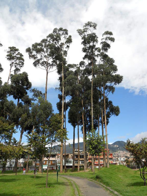 Eucaliptos en el Bosque de San Carlos