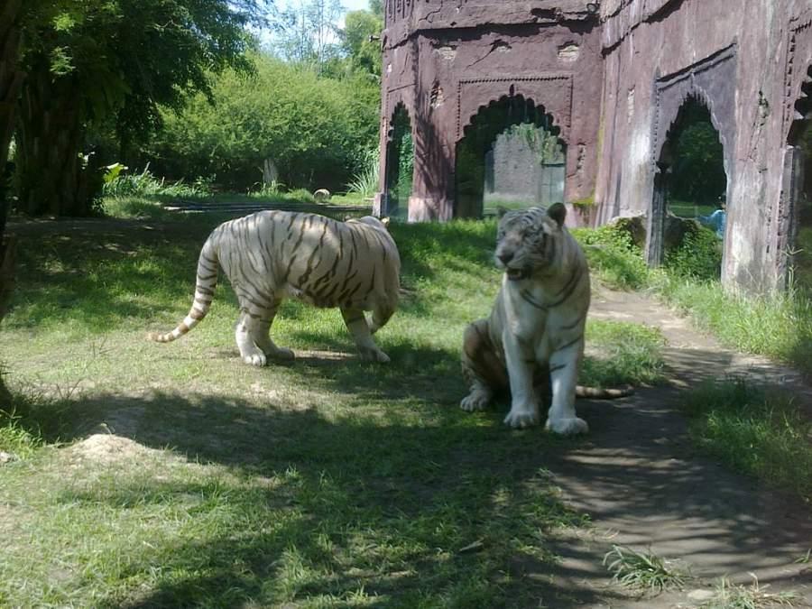 Tigres en el parque zoológico Bali Safari en el distrito de Gianyar