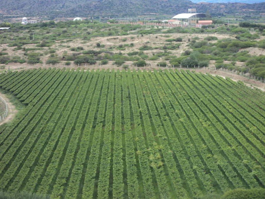 Viñedos en Tarija