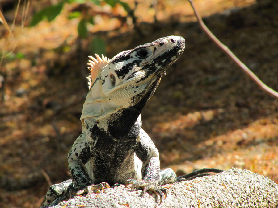 Las iguanas forman parte de la extensa fauna en Huatulco