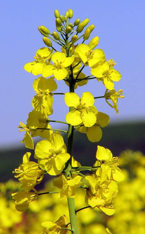 Brassica napus, flor que se cultiva en la zona para producir aceite vegetal