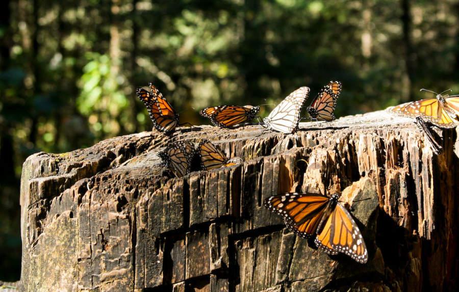 Reserva de la Biósfera de la Mariposa Monarca