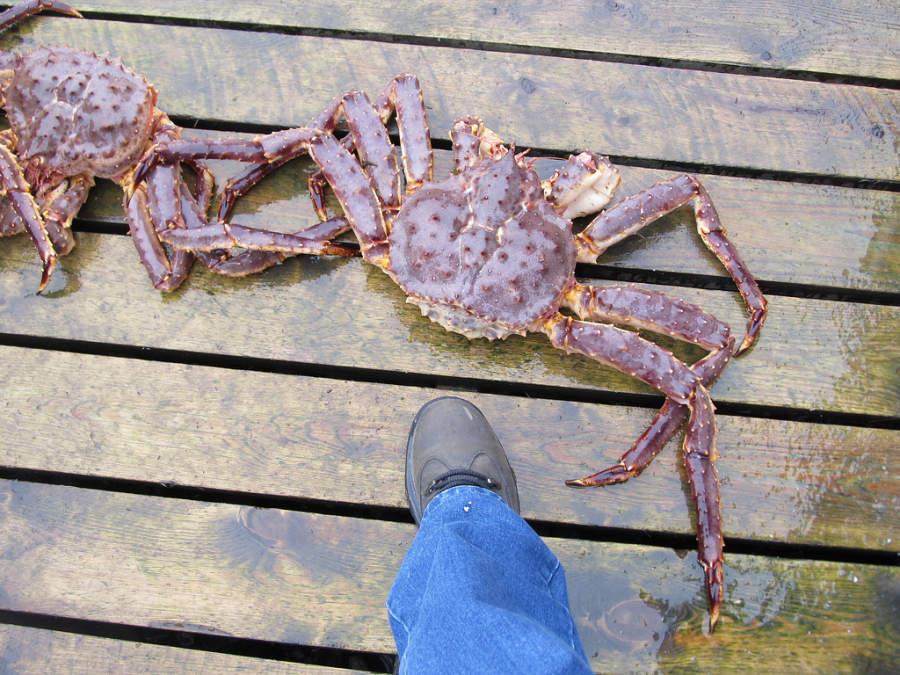 Cangrejo gigante en la región de Honningsvag