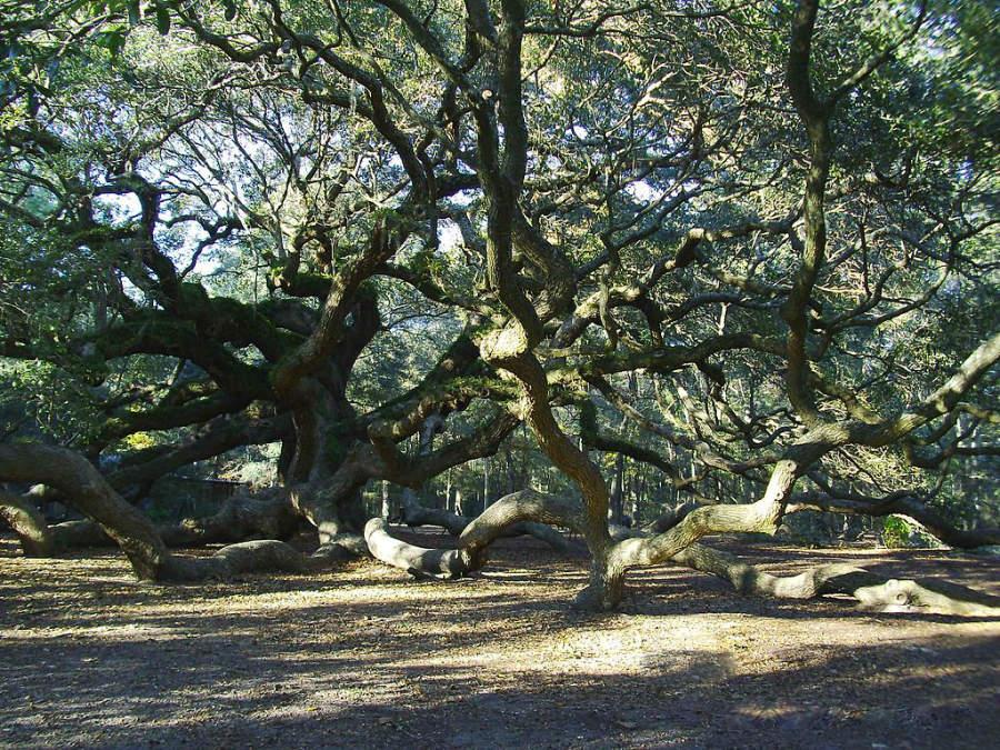 Ángel del árbol de roble en Charleston