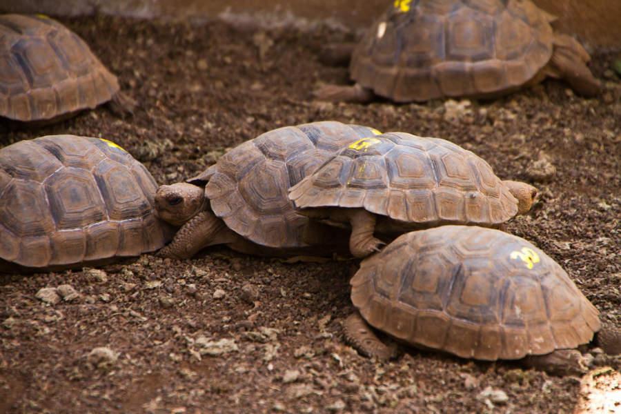 Tortugas terrestres en Puerto Ayora