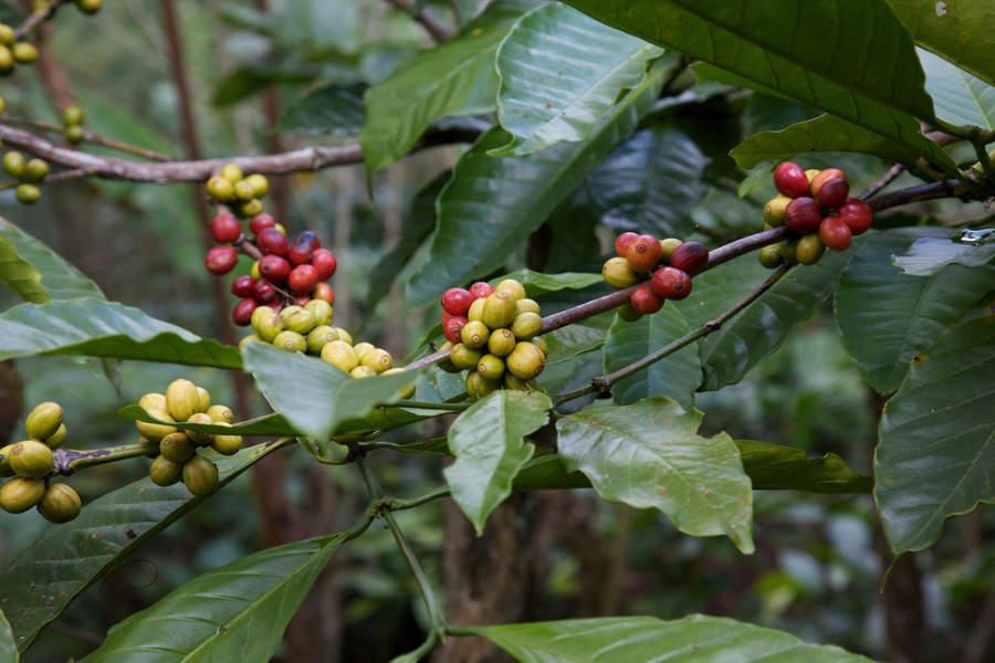 Planta de café en Bali