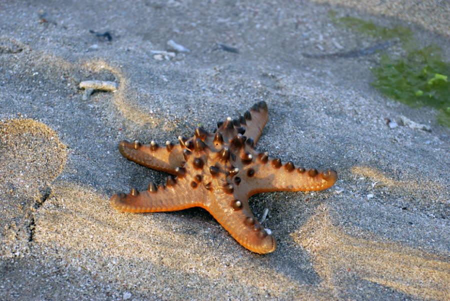 Estrella de mar en la playa de Benoa