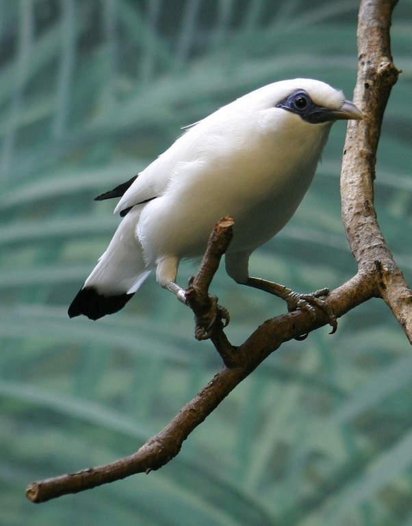 Estornino de Bali, ave endémica de Bali