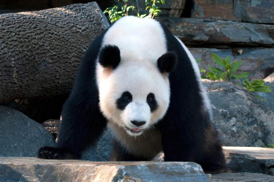 Panda en Adelaide Zoo
