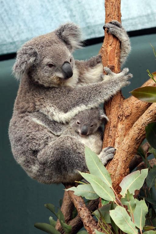 Koala en Sydney Wildlife World en el área de Darling Harbour