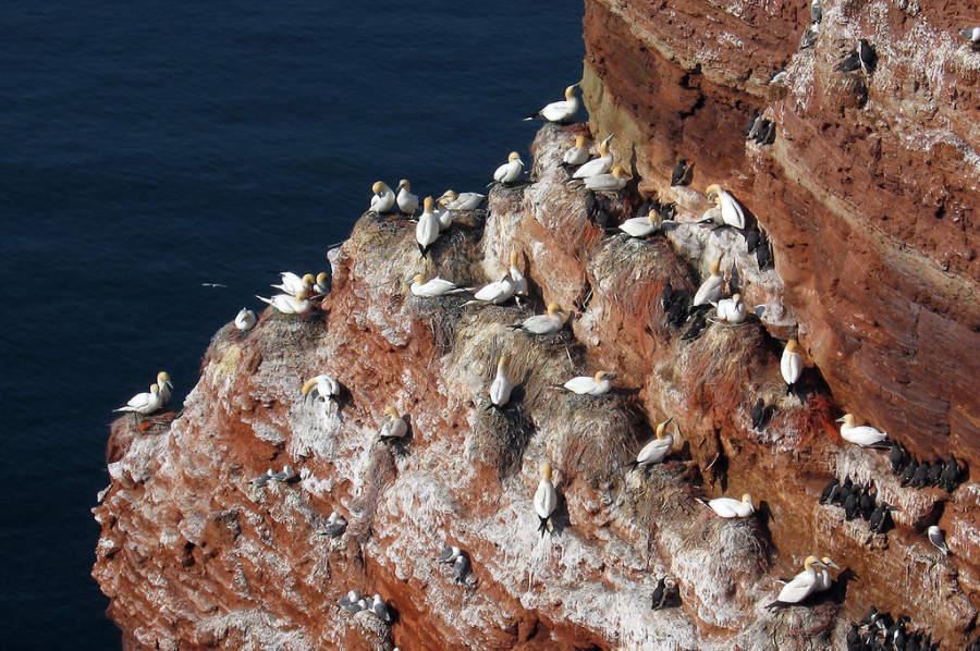 Alcatraces y gaviotas en los acantilados de Heligoland