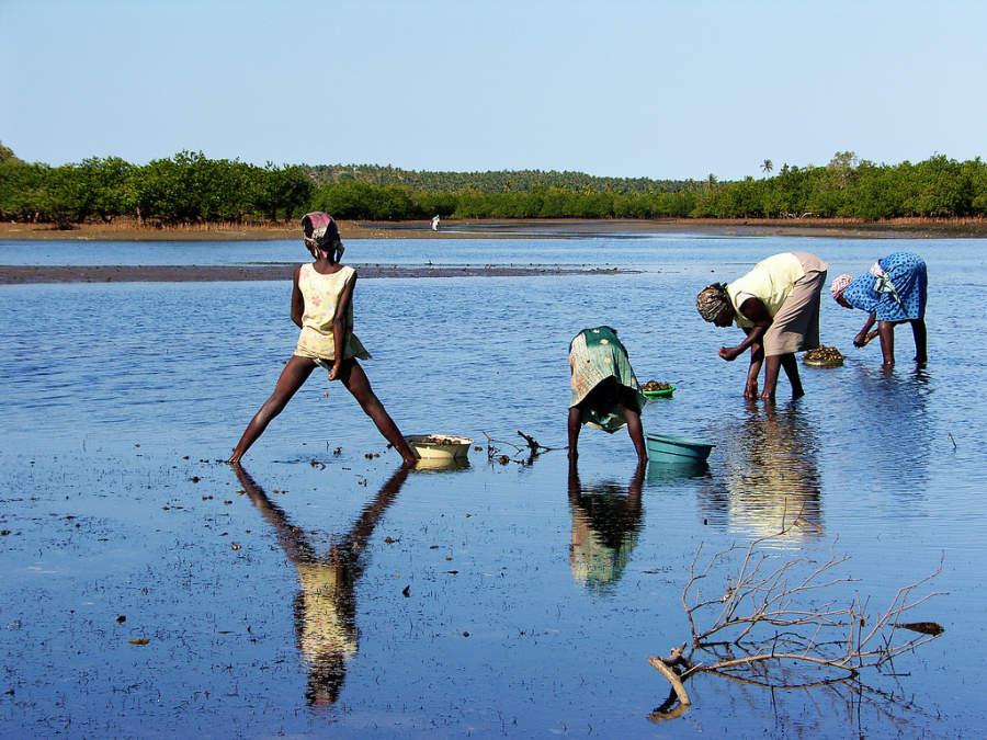 Mujeres recolectando conchas, cangrejos y peces en los manglares de Inhambane