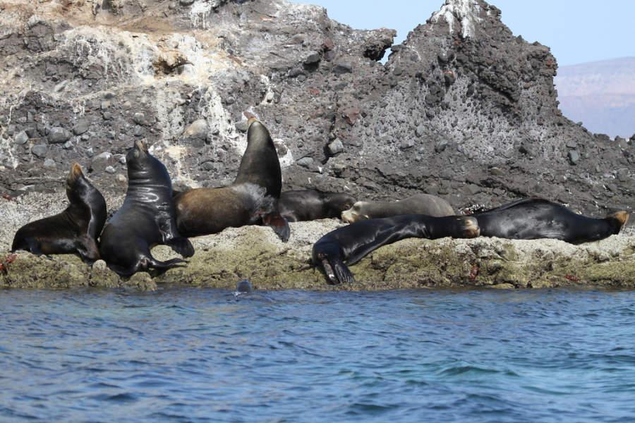 Leones marinos, parte de la fauna que habita en La Paz