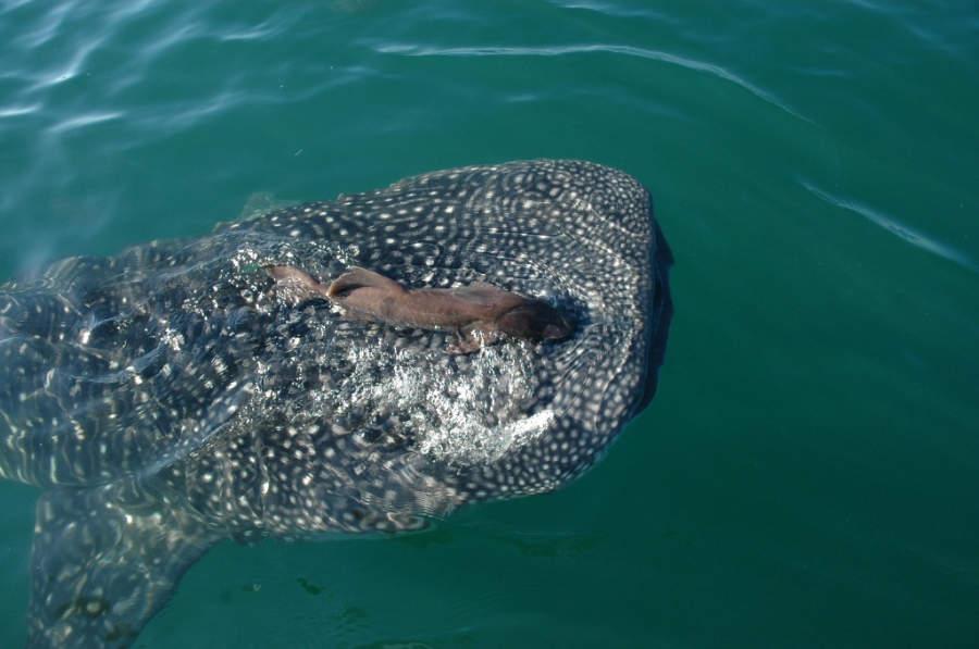 Vive la experiencia de nadar con el tiburón ballena en La Paz