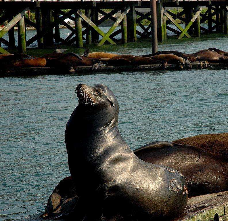 Leones marinos en Astoria