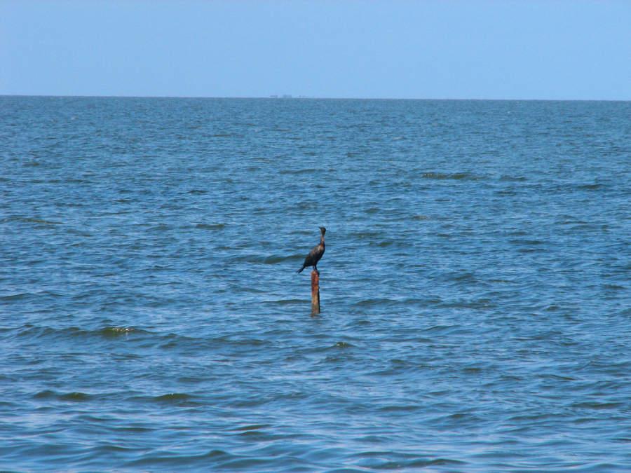 Albatros en el mar de Caibarién
