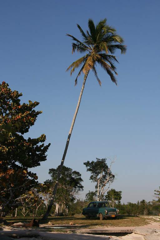 Alta palmera cocotera en Playa Larga