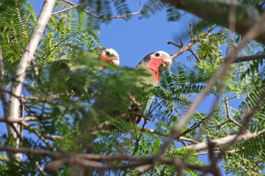 Loros (Amazona leucocephala) en Playa Larga