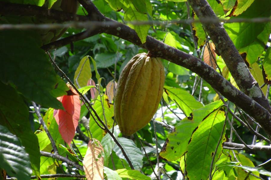 Fruto de cacao en Las Terrenas