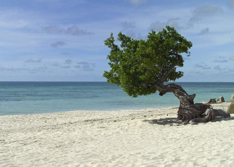 Dividivi es un árbol muy representativo de Aruba