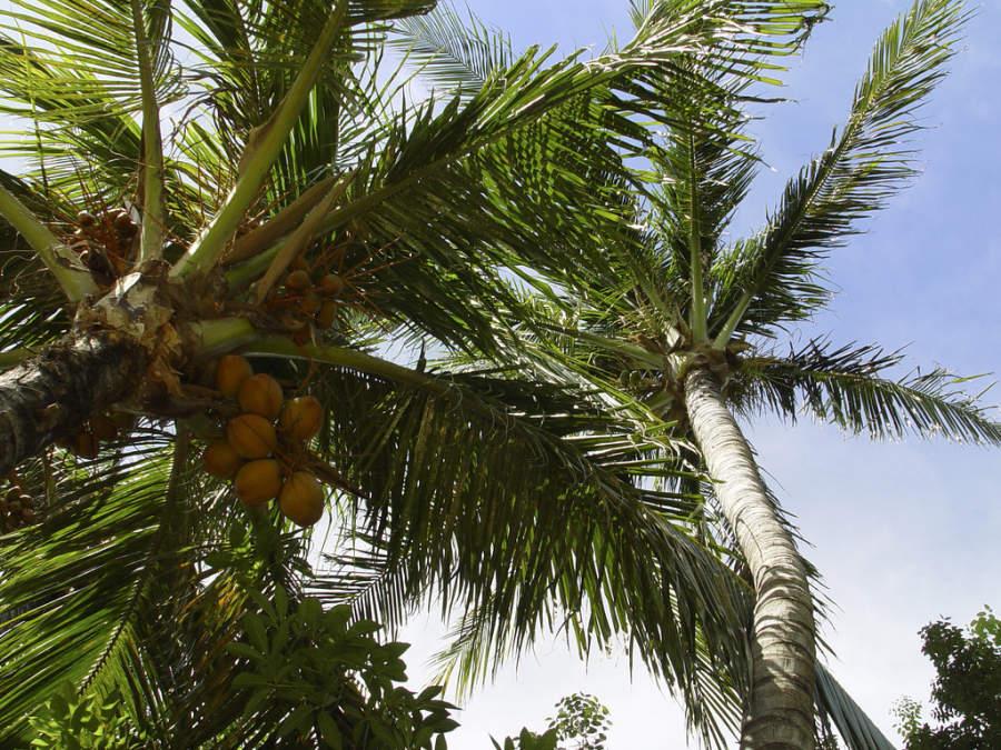 Palmeras de coco en Eagle Beach