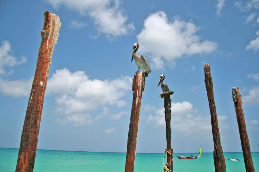 Pelícanos en el mar de Eagle Beach