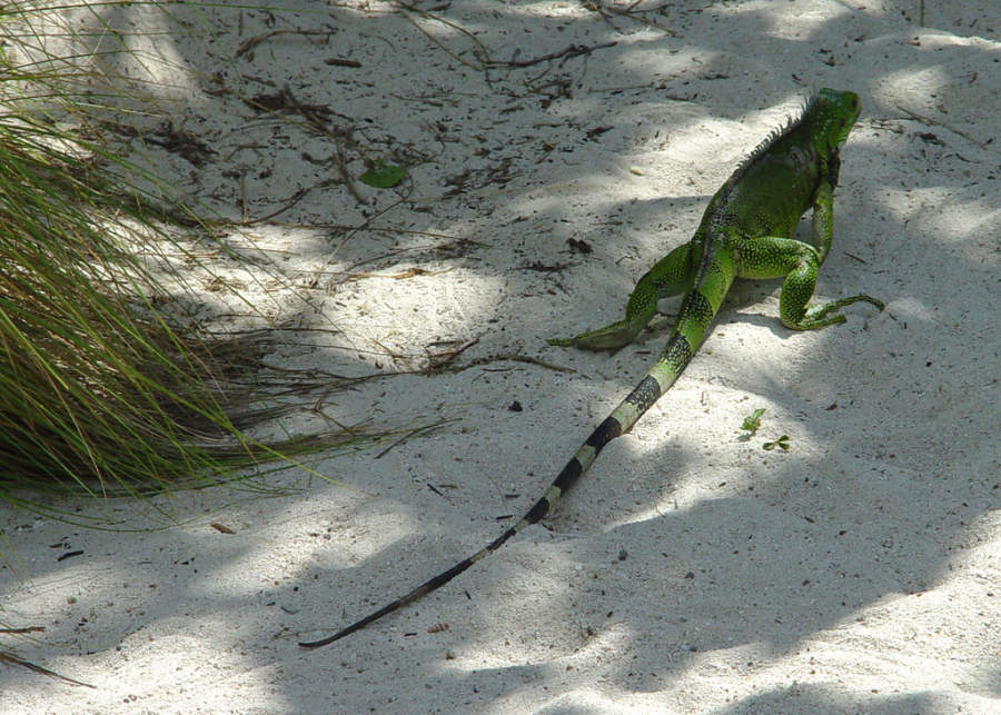 Iguana en Eagle Beach