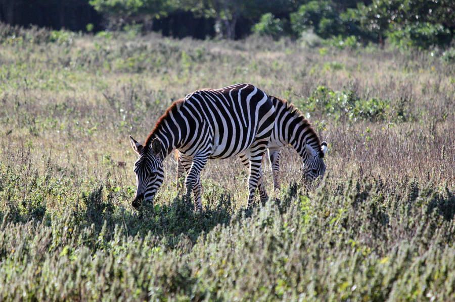 En el safari de Cayo Saetía puedes ver cebras