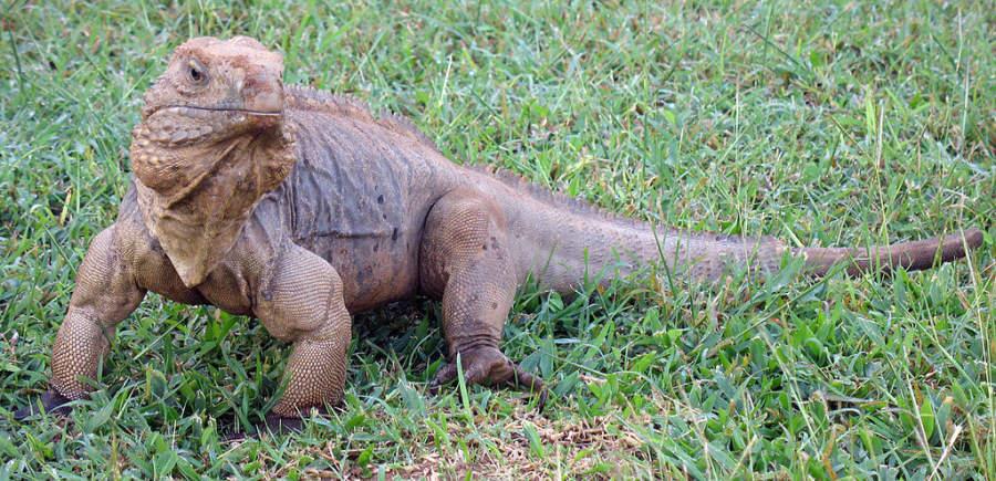 Iguana del área del Caribe