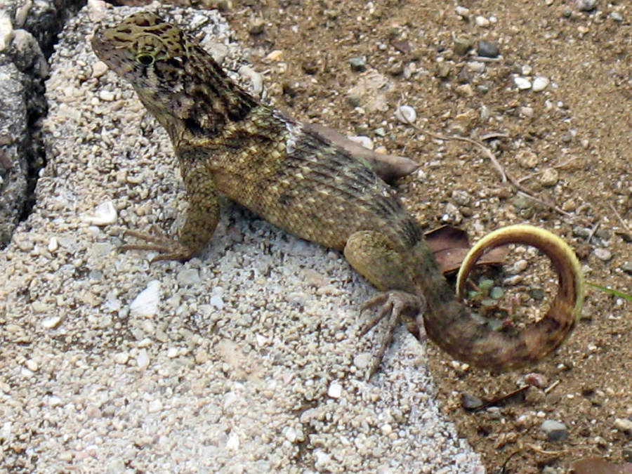En Cayo Saetía hay variedad de reptiles