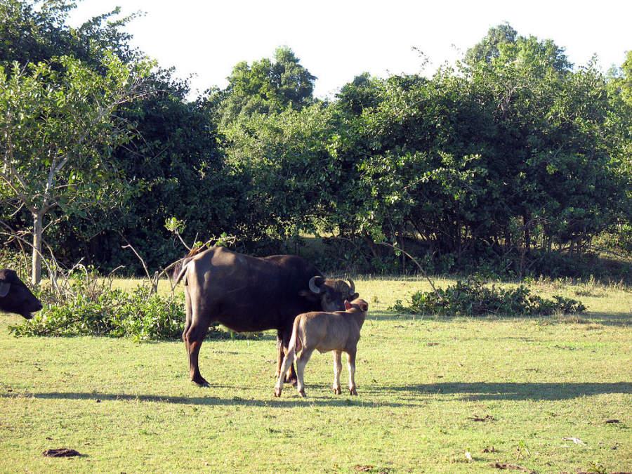 Búfalos en Cayo Saetía