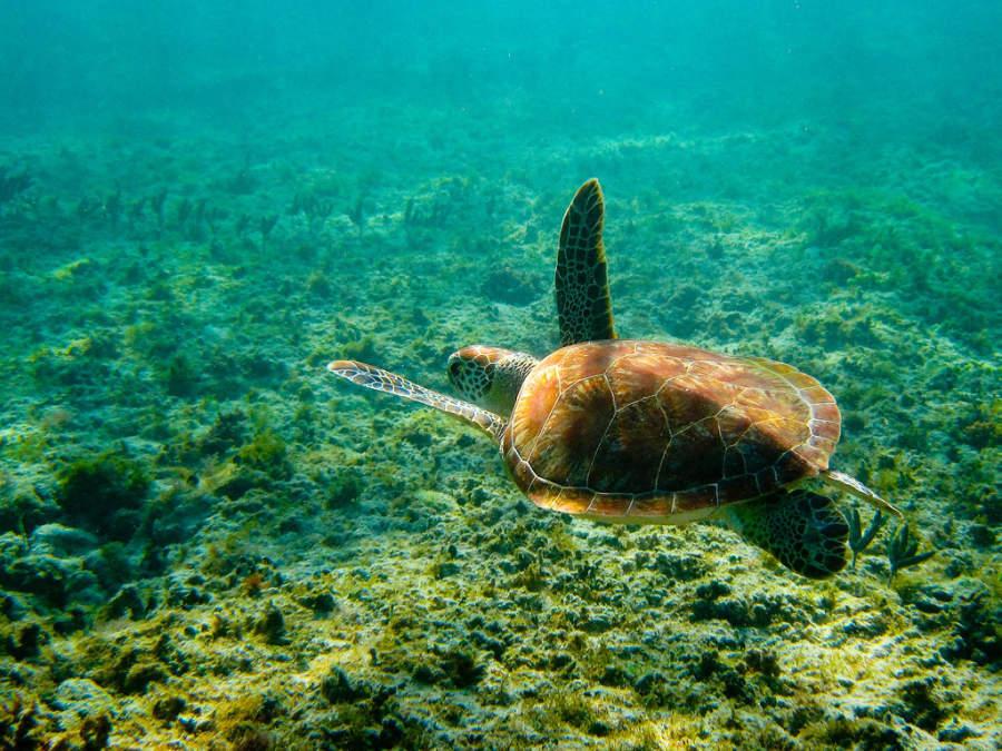 Akumal, que significa tierra de tortugas, tiene una gran cantidad de estos animales marinos