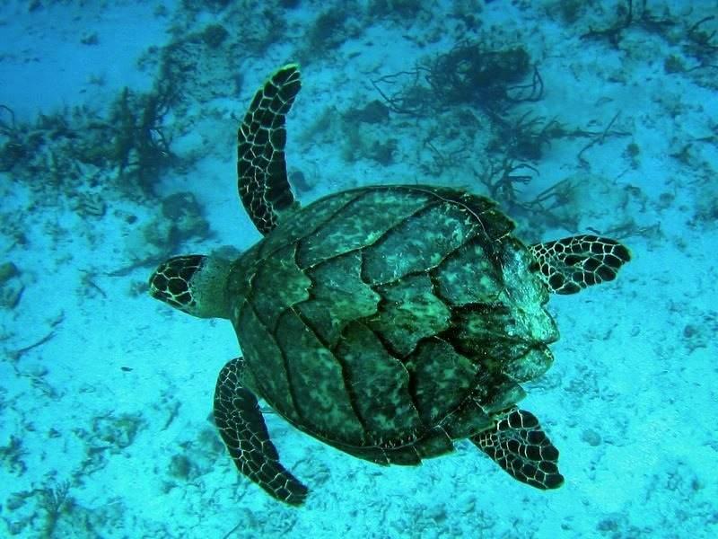En Playa Paraíso puedes ver variedad de tortugas marinas