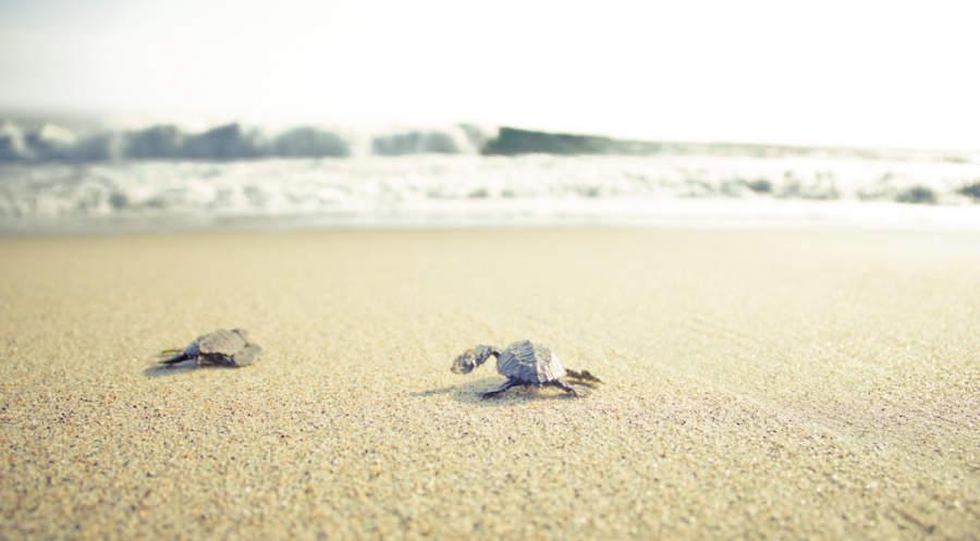 Tortugas en la Playa Paraíso